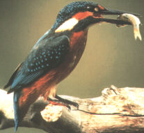 Common Kingfisher, Eisvogel (Alcedo atthis)